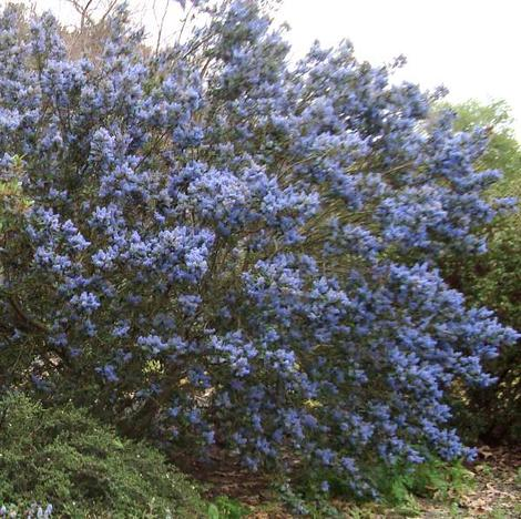 Ceanothus Tassajara Blue with no extra water in Escondido. - grid24_12