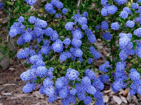 What Does Hyb Mean >> Ceanothus Concha, California Mountain Lilac
