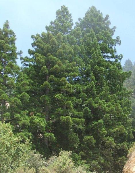 Young Coast Redwood, Sequoia sempervirens along the Big Sur Coast - grid24_12