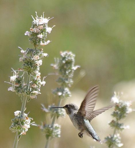 This little Hummingbird was watching as I took his picture on the Salvia apiana compacta. Native plants can bring life to you garden, naturally. - grid24_12