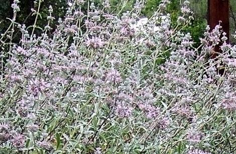 Purple Sage in Flower. Purple Sage is the biggest of the California sages. - grid24_12