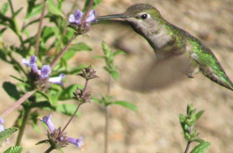 This Anna Hummingbird was working the Salvia munzii, which I keep misspelling munzesii. - grid24_12