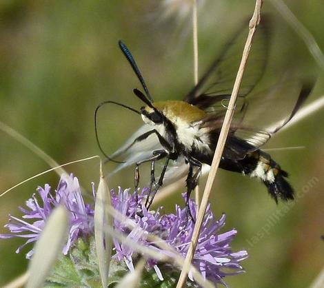 This Bumblebee Moth was working the flowers of Monardella villosa obispoensis. - grid24_12
