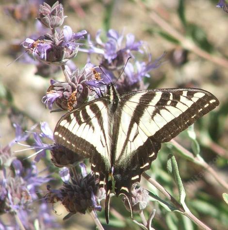 A Swallowtail Butterfly on a Salvia Pozo Blue. California native plants attract California native  wildlife to your garden. - grid24_12