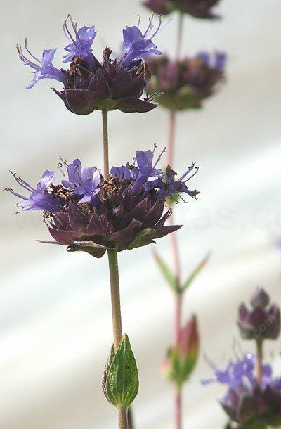 Salvia Carl Neilson is a hybrid sage with blue flowers and dark green foliage. - grid24_12