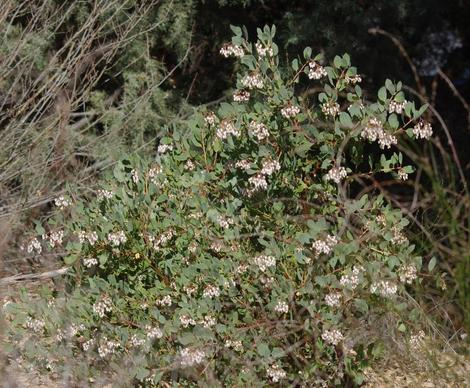 Here is a photo of Arctostapylos rainbowensis. - grid24_12