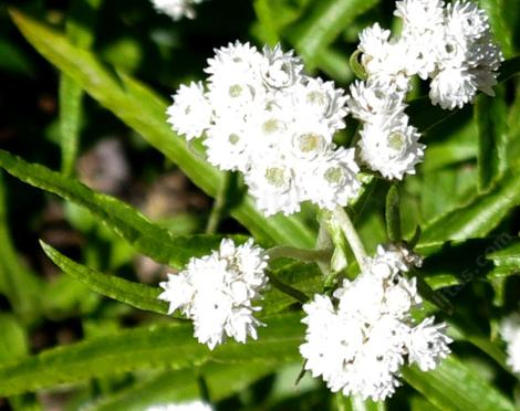 Anaphalis margaritacea, Pearly Everlasting in the Sierras at about 7000 ft. - grid24_12