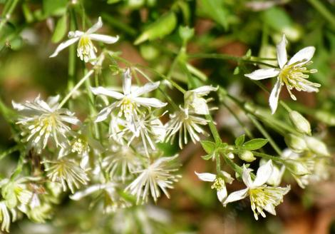 The Clematis flowers are delicate and spread all over the vine as they crawl along your fence or trellis. - grid24_12