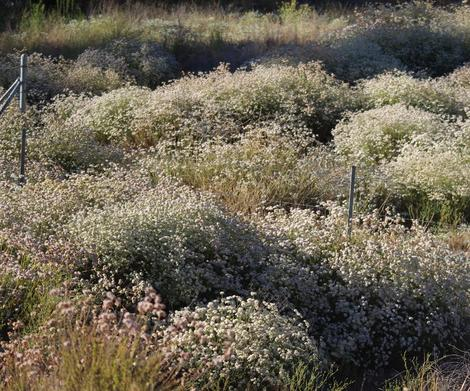 California Buckwheat as a ground  cover. No extra water. Native plants are beautiful.  What would a non-native plant look like with no water in midsummer? - grid24_12