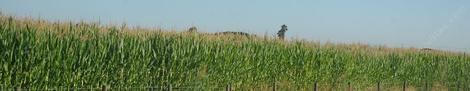 A field of corn south of Lemoore - grid24_12