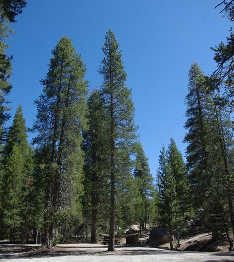 Lodgepole pine trees, I think, at 7500 ft. in the Sierra - grid24_12