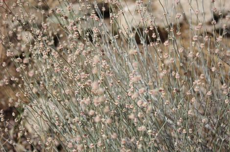Long-stem Buckwheat makes amazing dried flower bouquets.  - grid24_12