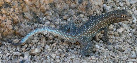 Some of the subspecies of Side Splotched lizard are very different. - grid24_12