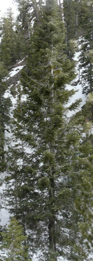 White fir in the Mt. Pinos area. Incredibly slow for us. - grid24_12