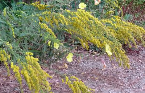 California Goldenrod is native on the Santa Margarita nursery site. It grows on a north slope in red clay and in most gravel. - grid24_12