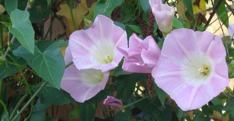 Purplish Morning Glory growing in Escondido - grid24_12