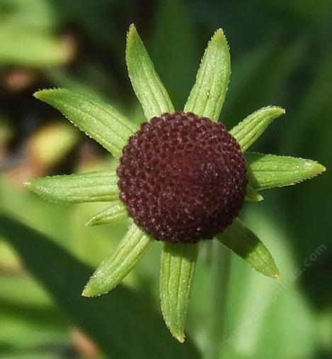 Western Coneflower, Rudbeckia occidentalis has no rays. - grid24_12