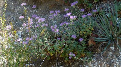 This coyote Mint was growing in the open hillsides above Big Sur Coast. Surrounding plants are Sticky  monkey flowers, Yucca whippleii, Golden Yarrow and Deerweed. - grid24_12