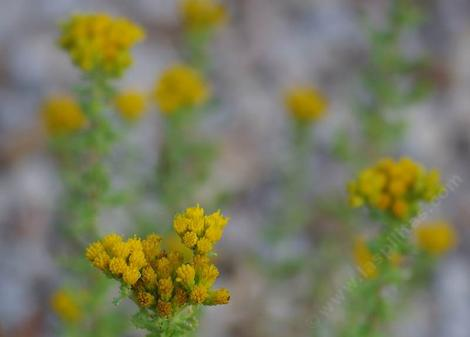 Menzies' Goldenbush, Isocoma menziesii - grid24_12