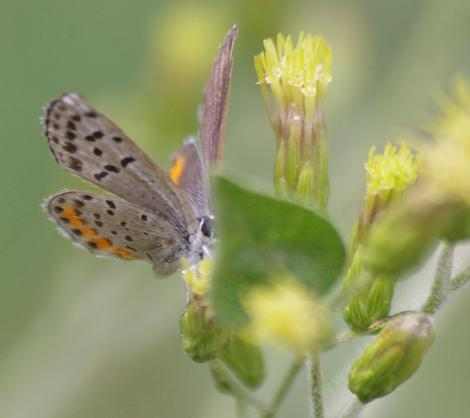 Acmon Blue, Plebejus acmon on Brickellia californica - grid24_12