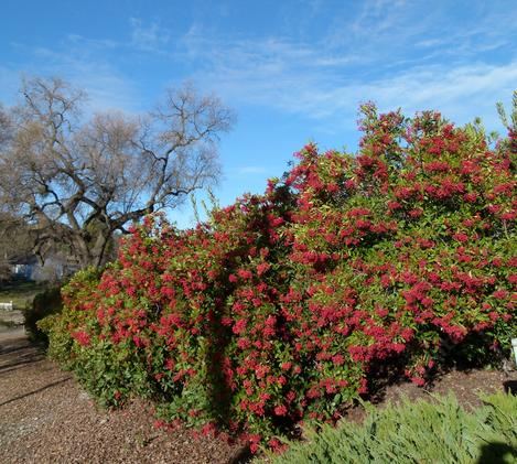 A 100ft hedge of Toyon, Heteromeles arbutifolia, as a privacy screen between a house and the street.  Toyon used to cover most of the hills around Los Angeles. - grid24_12