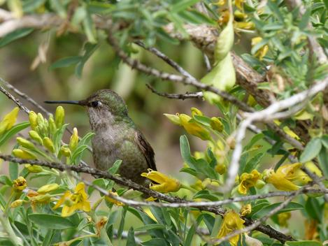 A hummingbird takes a break from the Isomeris flowers - grid24_12