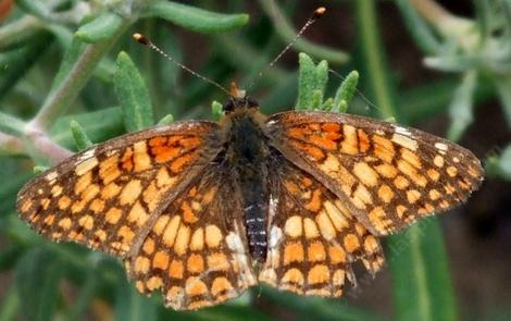 Chlosyne palla, Northern Checkerspot - grid24_12