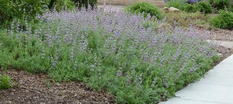 Salvia Gracias in a garden in North San luis obispo county. - grid24_12