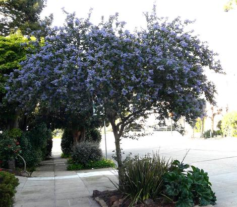 Ceanothus Ray Hartman as street tree in Northern California. Where it's cool in the sumer this works. - grid24_12