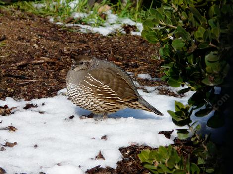 A fluffed up Quail standing in a spot of snow. - grid24_12
