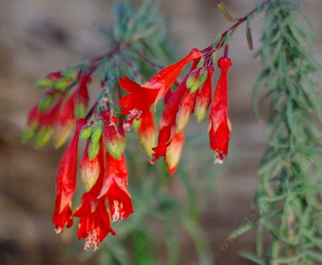 The flowers on Zauschneria cana are a little different from most California fuchsias. Hard to believe that these flowers used toi cover the hills around Los Angeles.