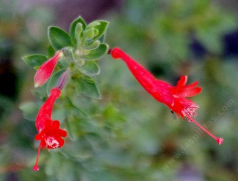 This California fuchsia was up in the rocks at the top of the subdivision at Mt. Laguna.