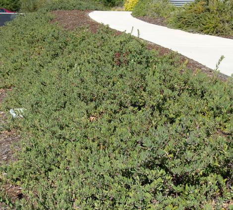 Arctostaphylos Pacific Mist grows as a relatively flat ground cover  with a gray tinge. Excellent native  replacement for Iceplant. There are only about 5 plants below the walkway. - grid24_12