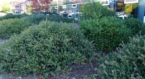 Arctostaphylos John Dourley as a mounding ground cover. shown here at Cal Poly San Luis Obispo.