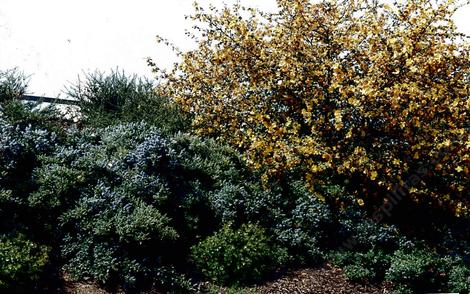 Ceanothus Joyce Coulter and Fremontia  - grid24_12