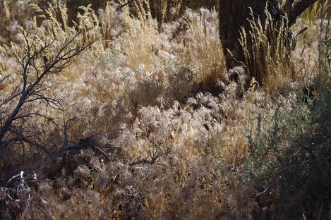 Bromus tectorum, (Anisantha tectorum), Cheatgrass Downy Brome June Grass - grid24_12