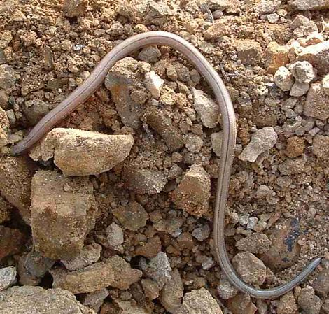 Anniella pulchra,  California Legless Lizard - grid24_12