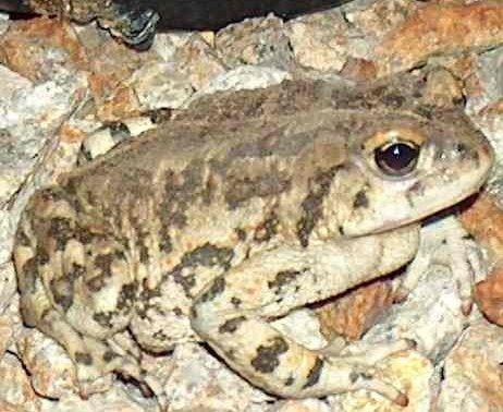 Bufo boreas halophilus is also known as Anaxyrus boreas halophilus,  California Toad - grid24_12