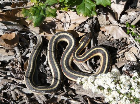 Thamnophis sirtalis fitchi - Valley Gartersnake coiled up - grid24_12