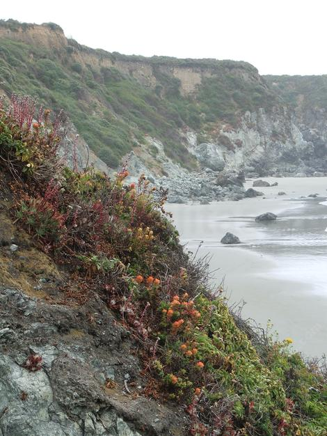 Coast Dudleya, Sand-lettuce and Sea Lettuce on a coastal bluff in southern Big Sur - grid24_12