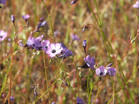 Gilia tenuiflora grows in one of our fields. Filaree is replacing it.