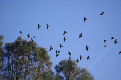 Band Tailed Pigeons in flight over the nursery. Native plants equal native birds. - grid24_12