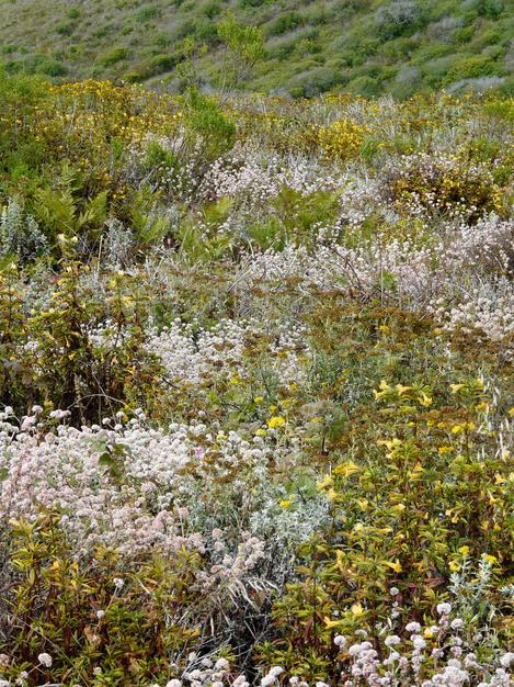 Coastal Sage scrub with Cliff buckwheat, Eriophyllum confertiflorum, Blackberry, Bracken Fern, Coyote Bush, Poison Oak, Coastal Live oak, etc.   - grid24_12