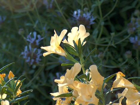 This California native plant photo is one of the most frequently stolen images on the web. Agoura Monkey flower with Salvia clevelandii Alpine along the driveway in 2003. - grid24_12