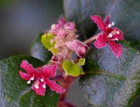 Evergreen  currant  or Catalina perfume  flowers.