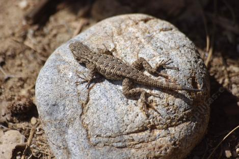 A little western Fence Lizard basking on a 4 inch rock by the nursery steps. - grid24_12