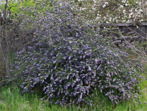 A thirty year old Ceanothus Mills Glory. No water and in a yard filled with weeds. - grid24_12
