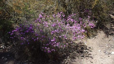 Leptodactylon californicum,  Prickly Phlox in the chaparral. - grid24_12