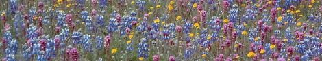 Pin cushion flower, Field Lupine, Owls Clover and Pop Corn are native California  wildflowers. - grid24_12