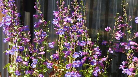 Penstemon spectabilis, Showy Penstemon flower mass in a movie. - grid24_12